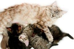 Kat die haar katjes verzorgt Royalty-vrije Stock Fotografie