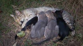 Kat die haar katjes verzorgt Royalty-vrije Stock Afbeelding