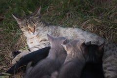 Kat die haar katjes verzorgt Royalty-vrije Stock Afbeeldingen