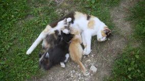 Kat die haar verzorgen kleine katjes stock footage