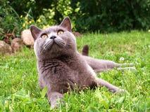 Kat die in het gras liggen Stock Foto's