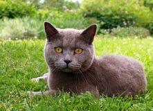 Kat die in het gras liggen Royalty-vrije Stock Foto