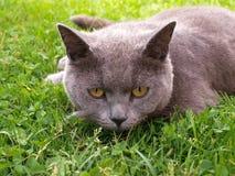 Kat die in het gras liggen Stock Afbeeldingen