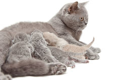 Kat die kleine katjes voedt Stock Foto