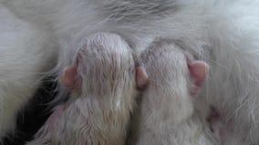 Kat die leuke kleine katjes thuis voeden kleine pasgeboren de katjes Mooie katjes die samen in geïsoleerd wit slapen stock footage