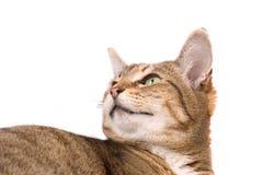 Kat die nieuwsgierig kijkt Stock Foto's