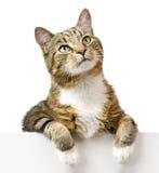 Kat die omhoog eruit zien Stock Foto