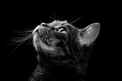 Kat die omhoog eruit ziet Stock Fotografie