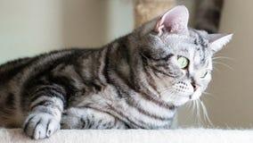 Kat die op de flatgebouwen met koopflats liggen Het korte haar van Tabby American Royalty-vrije Stock Afbeelding