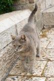 Kat die op de straat lopen Stock Afbeelding