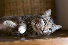 Kat die op een plank, het rusten liggen stock afbeeldingen