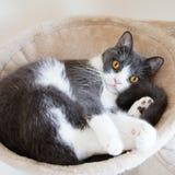 Kat die op het flatgebouw met koopflats liggen De Schotse vouwenoren openen gouden ogen en grijs en wit dekkleur Stock Foto