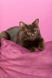 Kat die op het hoofdkussen leggen royalty-vrije stock foto