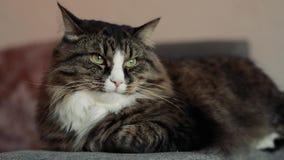 Kat die op het laagclose-up liggen stock footage