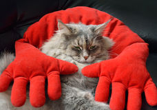 Kat die op rood hoofdkussen rusten Stock Afbeeldingen