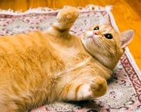 Kat die op rug legt royalty-vrije stock fotografie