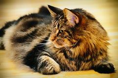 Kat die op vloer ligt Stock Foto's