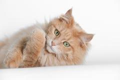 Kat die op witte achtergrond liggen Royalty-vrije Stock Foto's