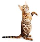 Kat die op witte achtergrond wordt geïsoleerd? Royalty-vrije Stock Fotografie