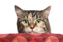 Kat die uit de mand piept Stock Afbeelding