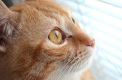 Kat die uit het venster kijkt Stock Foto