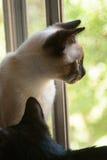 Kat die uit Venster kijkt Stock Foto