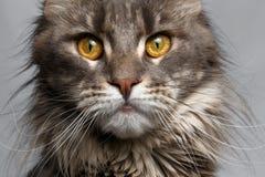 Kat die van Maine Coon van de close-up de bruine schildpad in camera kijken Stock Foto's