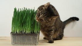Kat die vers groen gras thuis eten Veelvoudige videoframes stock videobeelden