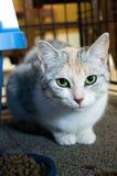Kat die voedsel eet Stock Foto's