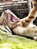 Kat die wanneer slaperig brullen Stock Foto's