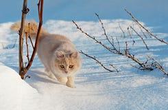 Kat die zacht door de sneeuw lopen Royalty-vrije Stock Foto
