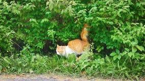 Kat die zijn grondgebied merken stock videobeelden