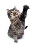 Kat die zijn poot slingert Stock Foto