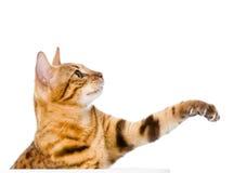 Kat die zijn poot slingert Geïsoleerdj op witte achtergrond royalty-vrije stock afbeelding