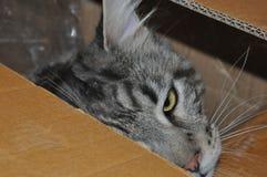 Kat in een doos Stock Fotografie