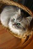 Kat in een mand - 1 stock afbeelding