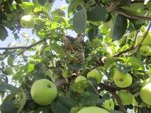 Kat en appel Stock Fotografie