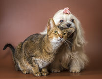 Kat en bolonkazwetna in studio royalty-vrije stock fotografie