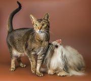 Kat en bolonkazwetna in studio royalty-vrije stock afbeelding