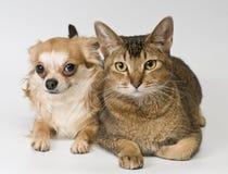 Kat en chihuahua in studio royalty-vrije stock afbeeldingen