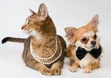 Kat en chihuahua in studio stock afbeelding