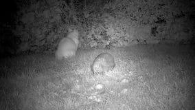 Kat en Egel in tuin stock footage