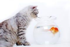 Kat en gouden vissen Stock Foto