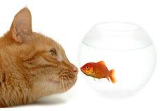 kat en gouden vissen royalty-vrije stock foto