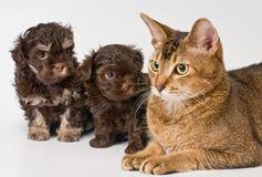 Kat en het puppy van het schoothondje royalty-vrije stock afbeelding