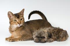 Kat en het puppy van het schoothondje in studio royalty-vrije stock foto's