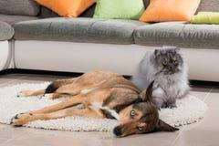 Kat en hond die in een woonkamer liggen Stock Foto's