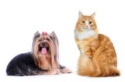 Kat en hond die op wit wordt geïsoleerdl Royalty-vrije Stock Foto