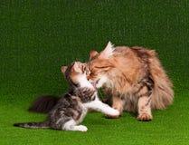 Kat en katje Royalty-vrije Stock Foto's