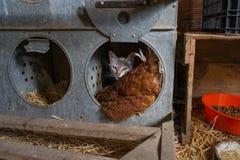 Kat en kip in een boerenerf Stock Afbeelding
